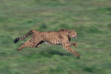 Cheetah Running in Grass Photographic Print by  DLILLC
