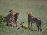 Young Cheetahs Practice Hunting Photographic Print by  DLILLC