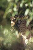 Leopard Hidden by Leaves Fotografisk tryk af  DLILLC