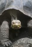 Giant Tortoise Fotografisk tryk af  DLILLC