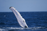Humpback Whale Flipper Slapping Photographic Print by  DLILLC