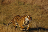 Bengal Tiger Running in Field Photographic Print by  DLILLC