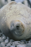 Sleeping Weddell Seal Photographic Print by  DLILLC