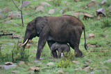 African Elephant Calf Walking underneath Parent Photographic Print by  DLILLC