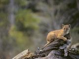 Cougar Cub Photographic Print by  DLILLC