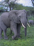 African Elephant and Calf in Grass Photographic Print by  DLILLC