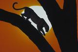 Leopard in Tree Reproduction photographique par  DLILLC