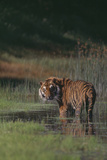 Bengal Tiger Standing in Marsh Photographic Print by  DLILLC