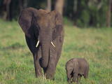 African Elephant Calf with Mother in Grass Photographic Print by  DLILLC