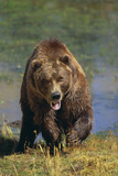 Grizzly Guarding Riverbank Photographic Print by  DLILLC