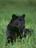 Black Panther Sitting in Grass Reproduction photographique par  DLILLC