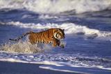 Bengal Tiger Running along the Beach Reproduction photographique par  DLILLC