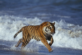 Bengal Tiger Running along the Beach Fotografisk tryk af  DLILLC