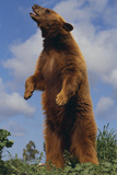 Bear Standing on Two Legs Photographic Print by  DLILLC