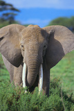 African Elephant in Grass Photographic Print by  DLILLC
