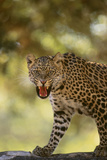 Leopard Photographic Print by  DLILLC