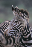 Zebra Photographic Print by  DLILLC