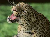 Growling Leopard Photographic Print by  DLILLC