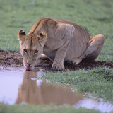 Lion Drinking from Watering Hole Photographic Print by  DLILLC