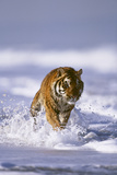 Bengal Tiger Running along the Beach Photographic Print by  DLILLC