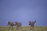 Zebras Walking Together Photographic Print by  DLILLC