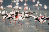 American Flamingoes Photographic Print by  DLILLC