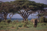 African Elephant Walking on Savanna Photographic Print by  DLILLC