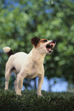 Jack Russell Terrier Bearing its Teeth Photographic Print by  DLILLC