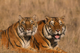 Bengal Tigers Lying in Field Photographic Print by  DLILLC