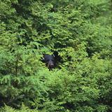 Black Bear Hiding in Forest Reproduction photographique par  DLILLC
