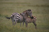 Zebra Mother and Child Photographic Print by  DLILLC