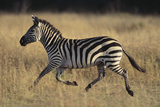 Burchell's Zebra Photographic Print by  DLILLC