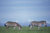 Zebras Grazing Photographic Print by  DLILLC