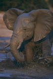 African Elephant Calf Bathing in Watering Hole Photographic Print by  DLILLC
