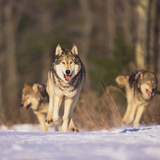 Gray Wolves Running on Snow Photographic Print by  DLILLC
