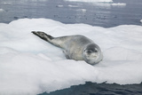 Leopard Seal Resting on an Iceberg Photographic Print by  DLILLC