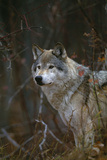 Gray Wolf in Meadow Reproduction photographique par  DLILLC