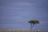 Zebra Standing apart from Herd Photographic Print by  DLILLC