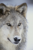 Gray Wolf Photographic Print by  DLILLC