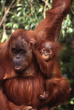 Orangutan Mother and Child Fotografisk tryk af  DLILLC
