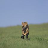 Running Cheetah Photographic Print by  DLILLC