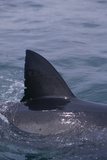 Great White Shark Fin above Water Photographic Print by  DLILLC