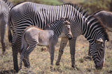 Baby Zebra and Mother Photographic Print by  DLILLC