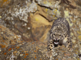 Angry Snow Leopard on Rocks Photographic Print by  DLILLC