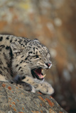 Growling Snow Leopard Photographic Print by  DLILLC