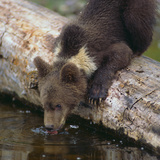 Brown Bear Cub Drinking Water Photographic Print by  DLILLC