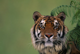 Tiger Sitting under Fern Leaves Photographic Print by  DLILLC