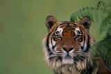 Tiger Sitting under Fern Leaves Photographic Print by  DLILLC