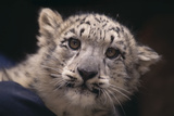 Snow Leopard Cub Photographic Print by  DLILLC