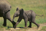 African Elephant Calf following Mother Photographic Print by  DLILLC